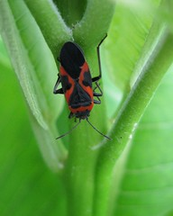 Milkweed Bug - adult