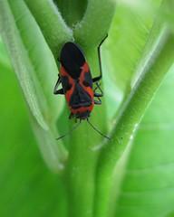 Milkweed Bug - adult