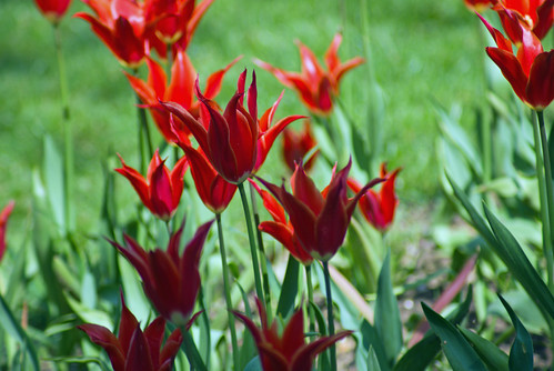 red tulips, İstanbul Tulip Festival 2009, İstanbul, Pentax K10d