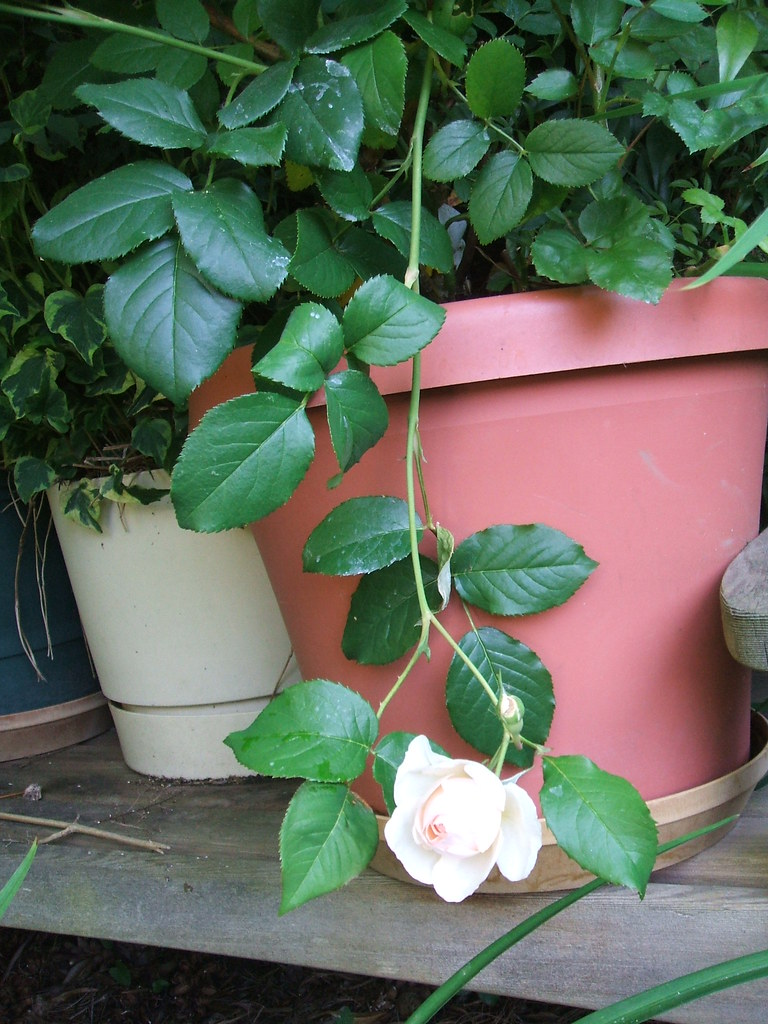 Heritage rose broken stem