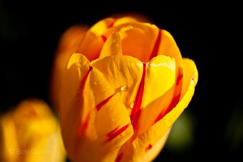 It's Tulip Time Again