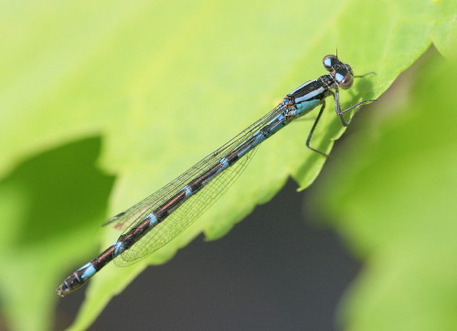 Bluet, possibly Northern or Boreal female