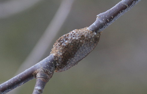 New Tent Caterpillar egg case