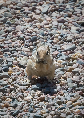 Antelope Ground Squirrel by you.