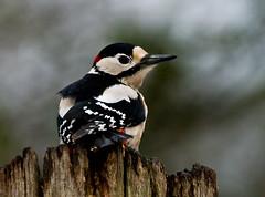 Woodpecker on wooden post