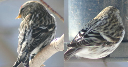 Common and Hoary Redpoll back views