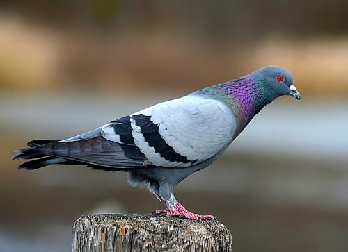 Rock Pigeon 01