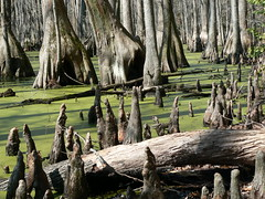 Merchant's Millpond State Park - Baldcypress Trees and Knees in Algae (Close)