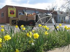 Spring daffodils & Radishes!