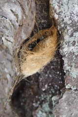 Cocoon on Cherry Bark