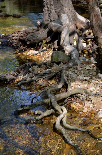 snakey roots
