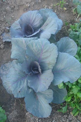 紫色高麗菜