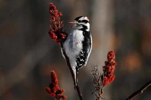 Downy Woodpecker on Sumac