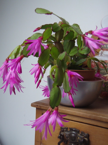 easter cactus - 2