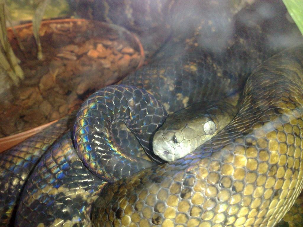 Snake - Sas