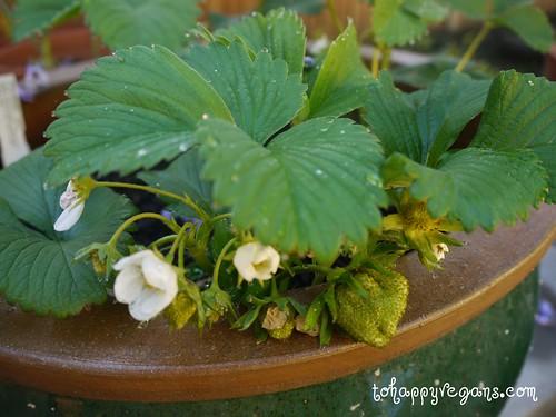 Beautiful strawberry plant