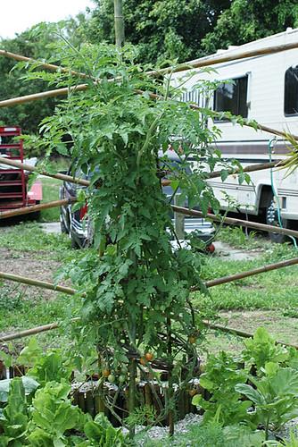 Cherry-Tomato-Tree