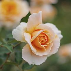 May day roses
