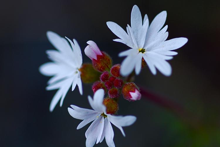 Smallflower Woodland-star
