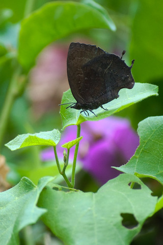 Mahathala ameria - Lycaenidae