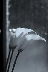 calla lillies in the window light