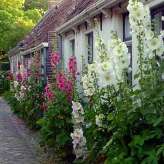 Hollyhocks in Garnwerd, Groningen