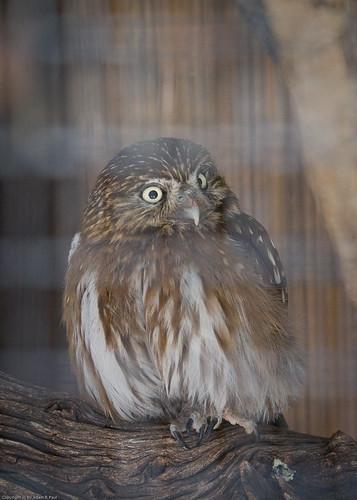 Pygmy Owl by you.