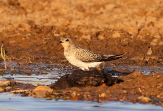2011_06_15 PO - Collared Pratincole - juvenile (Glareola pratincola) 10 by Mike at Sea