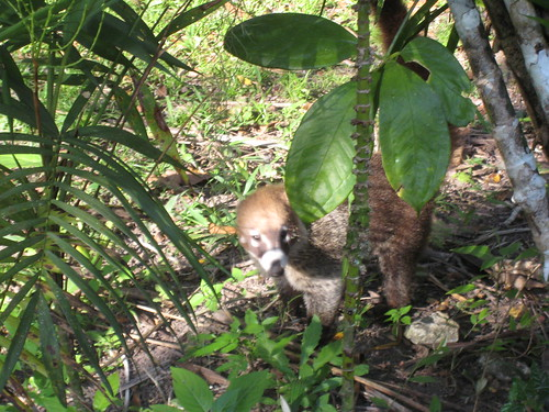 A rather shy Coatimundi in Tikal National Park