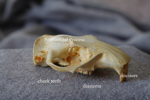 Woodchuck Skull Replica