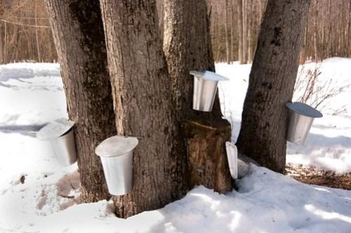 maple water buckets...