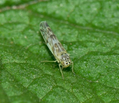 Leafhopper (Eupteryx florida)