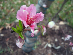 2009.03.15.peach