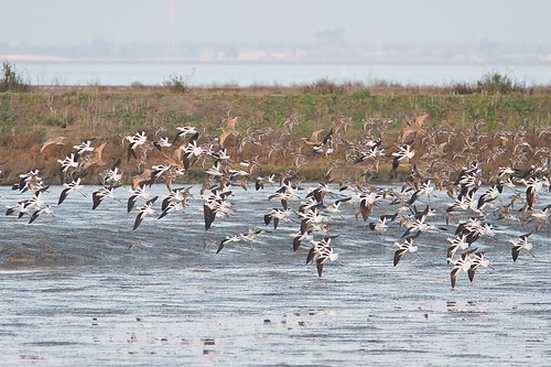 Avocets and Godwits by you.