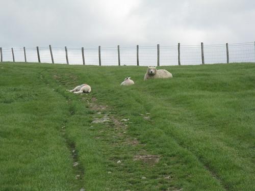 sleepy lambs, watchful ewe