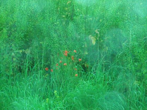 Poppys on a field