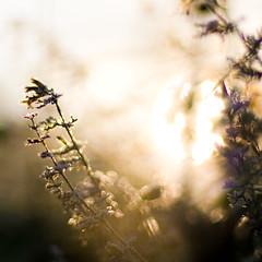 amber sunrise