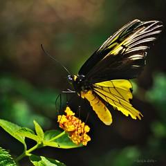 Golden Birdwing {troides amphrysus}