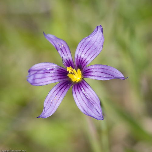 Blue-eyed Grass by you.