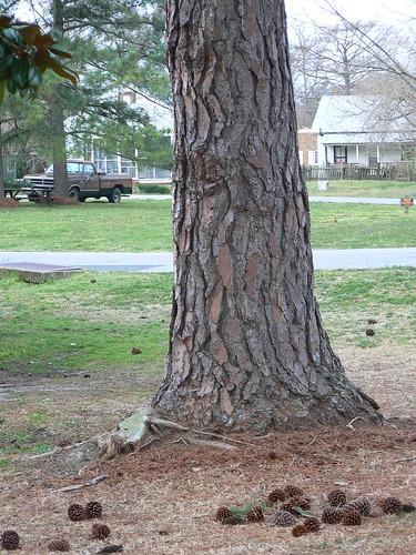 Tuscarora Street  - Pine Bark