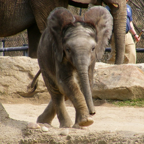 Baby elphant running!