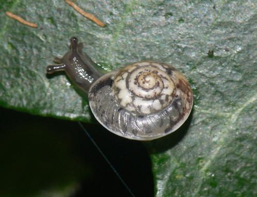 Girdled snail (Hygromia cinctella)