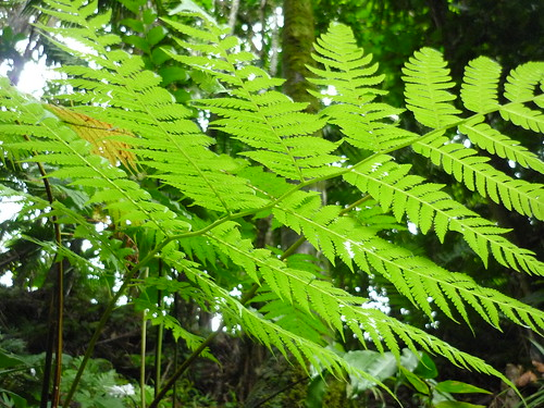 One of the many ferns in El Yunque