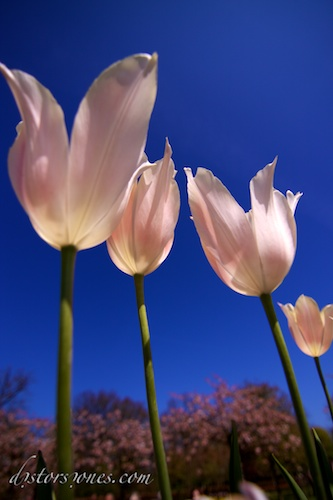 Tulipanes esbeltos