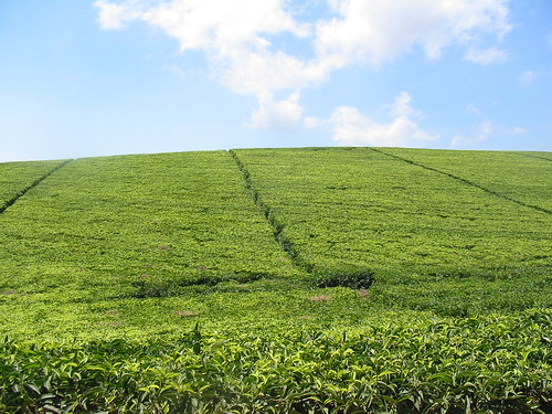 Satemwa Tea Estate, Thyolo, Malawi
