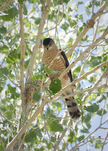 Cooper's Hawk by you.