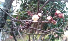 [PooFarm]梅の芽が開き初めました