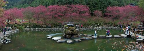 Sakura Panorama