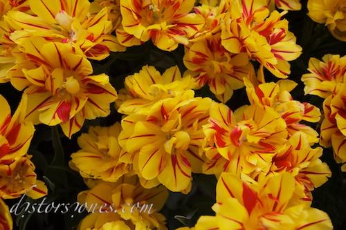 Sobre los tulipanes
