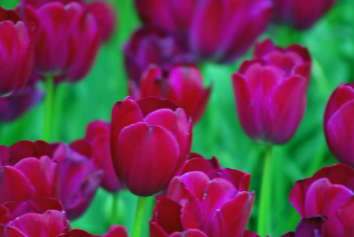 purple tulip, istanbul lale festivali, istanbul tulip festival, istanbul, pentax k10d